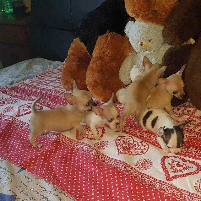 Re galo Chihuahua Cuccioli con Pedigree ENCI