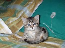 gattini nati 35 giorni fa, razza europea, certosini e siamesi.