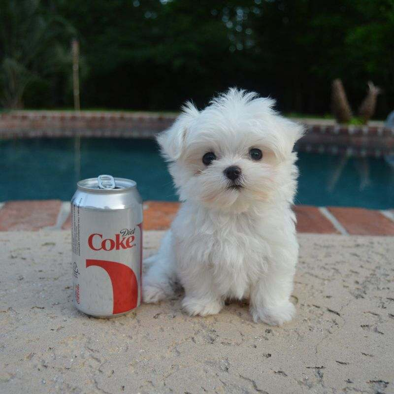 Vendita cucciolo cuccioli di maltese con pedigree