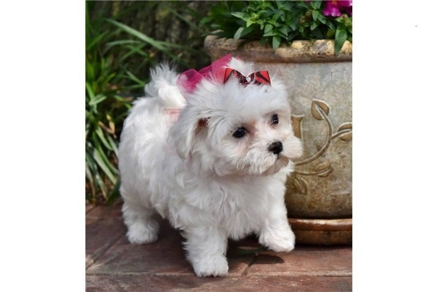 cuccioli..di..maltese..in..regalo..gratuita