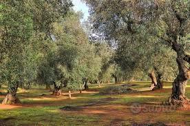 Vendo oliveto mandorleto In agro Palo del Colle