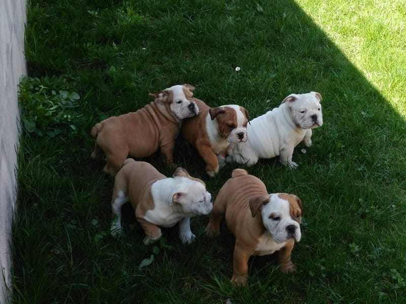 Disponibili meravigliosi cucciolotti di bulldog inglese