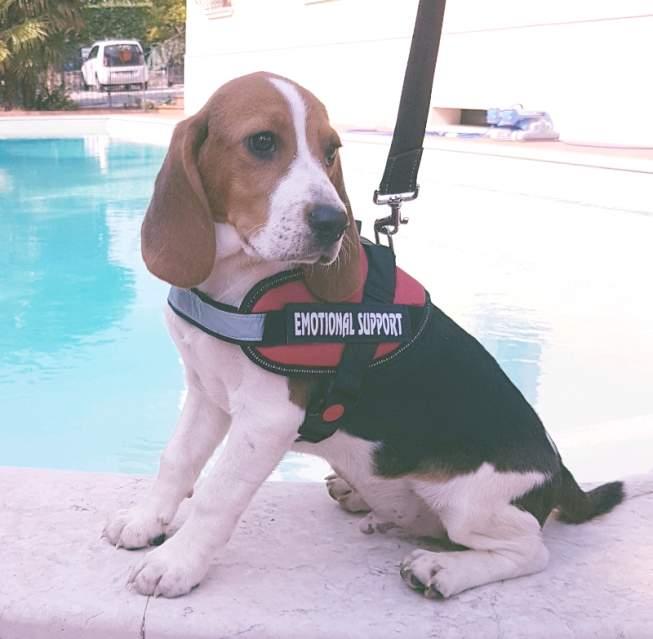 Beagle da compagnia cuccioli*****iii