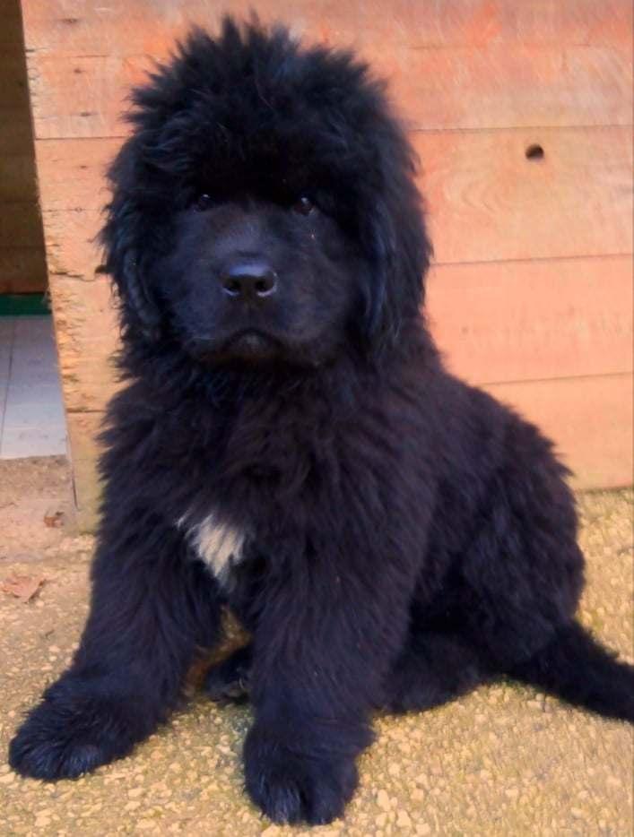 terranova cuccioli pedigree