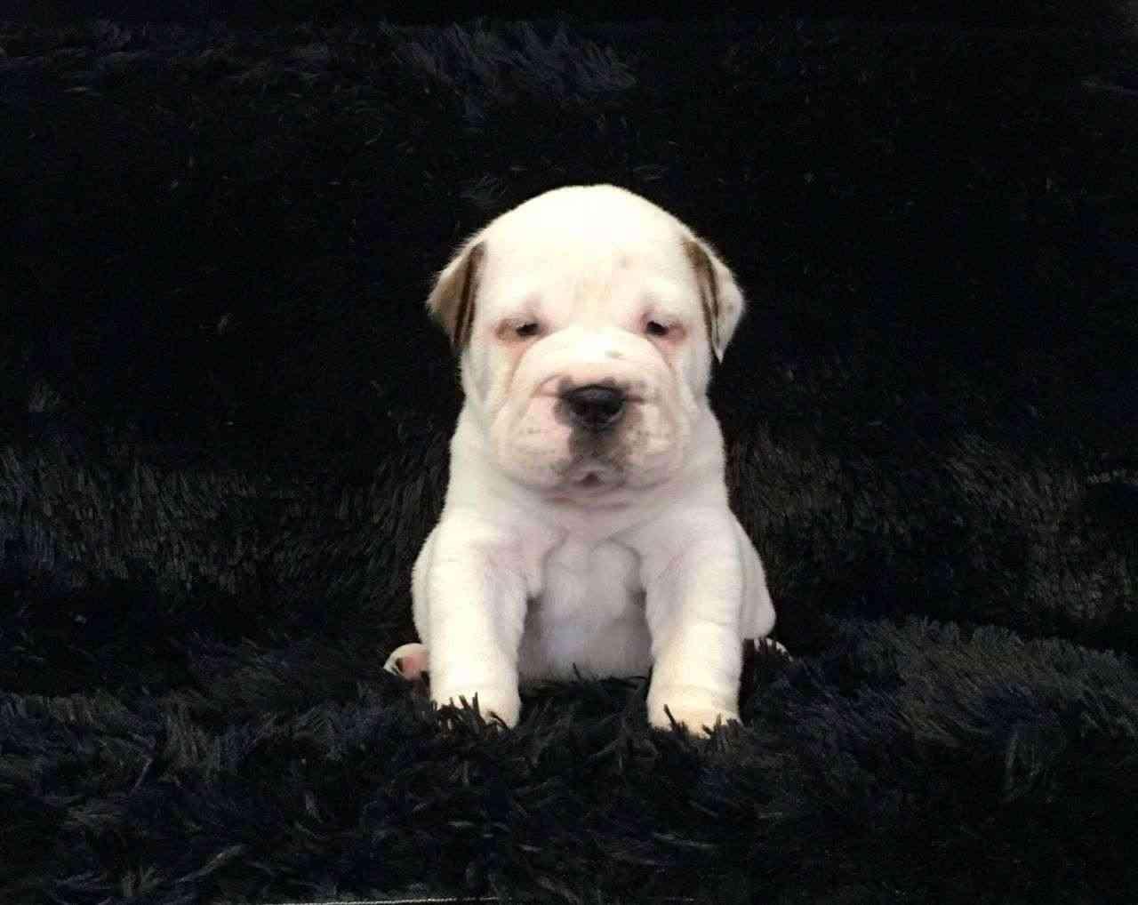 Disponibili Cucciola BULL PEI (BULLDOG X SHAR PEI)