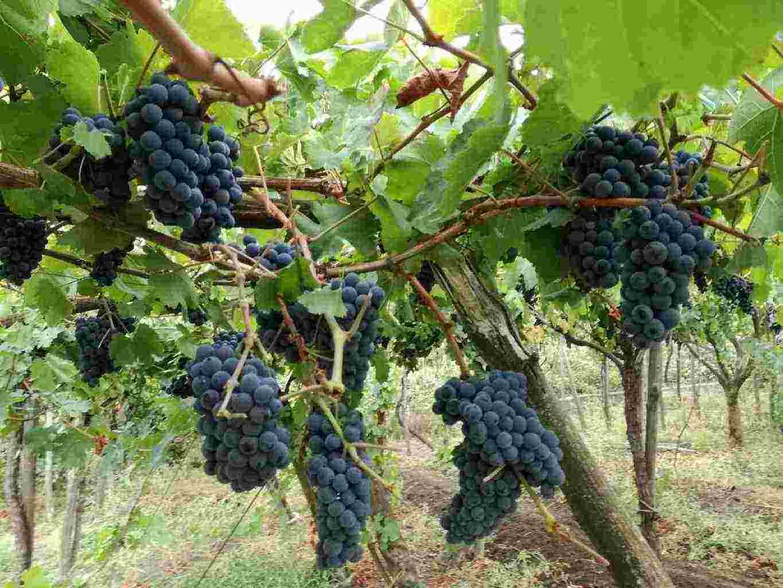 Vendita Uva per vino Lacryma Christi del Vesuvio