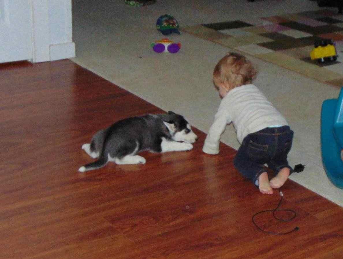 Due..1 Siberian Husky di colore bianco/nero/grigio e con stupendi occhi
