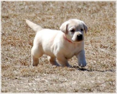 Lab--cuccioli di labrador maschi e femmine