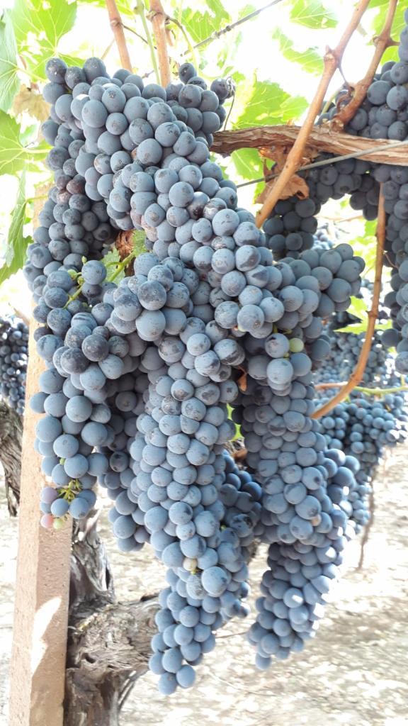 Uva da vino in vendita