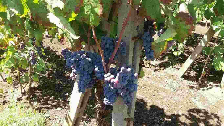 Uva da vino nerello mascalese