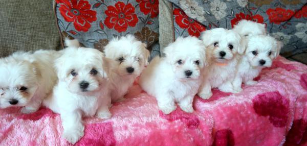 Meravigliosi cuccioli maltesi maschi e femmine disponibili per una nuova casa