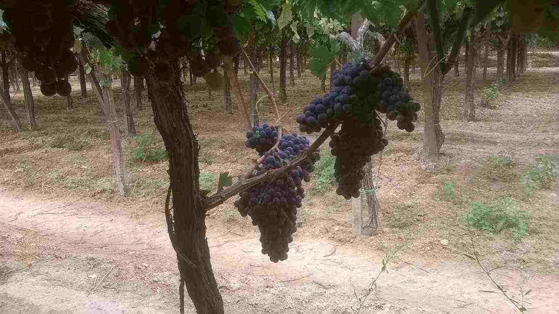 Uva da vino a bacca rossa e bianca (Montepulciano d'abruzzo, Lambrusco, San Giovese, Trebbiano)