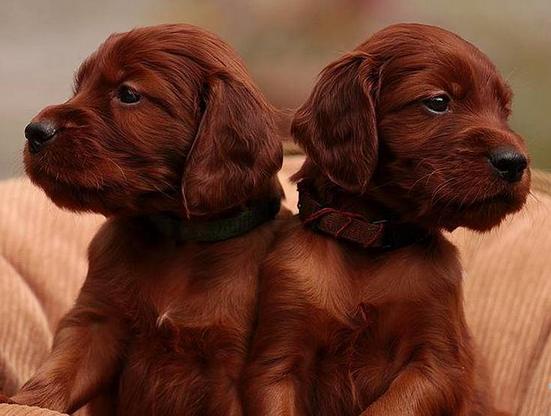 Cuccioli di Setter Irlandese, Pedigree