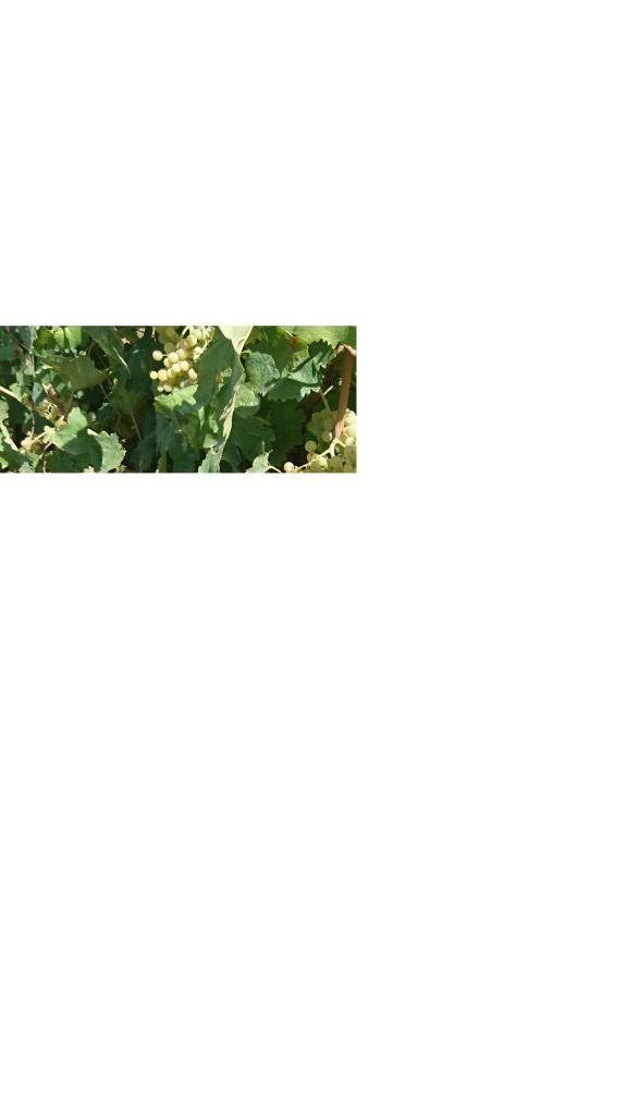 UVA BIANCA da vino VERMENTINO e TREBBIANO/MALVASIA
