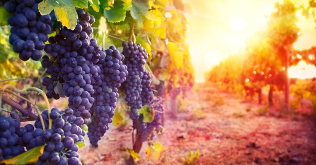 Uva da vino CIRO' ''GAGLIOPPO''