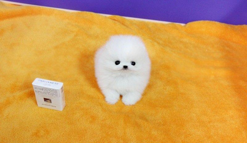 Pomeranian adorabile principessa disponibile!