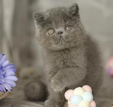 Stupendi Gatti di Exotic Shorthair