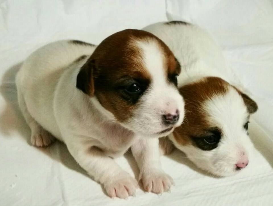 Jack Russell Terrier con Pedigree ENCI