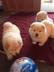 Cuccioli di Chow Chow