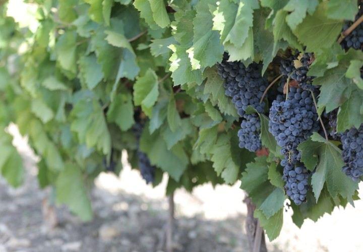 Uva da Vino Biologica Nero d'Avola DOC,Inzolia,Trebbiano