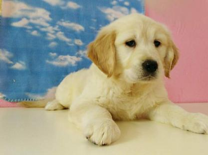 kicciola di golden retriever
