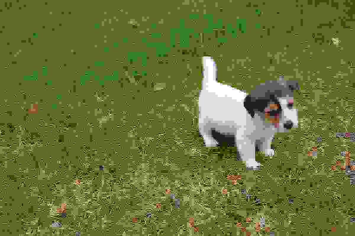 Jack Russell Terrier CUCCIOLO