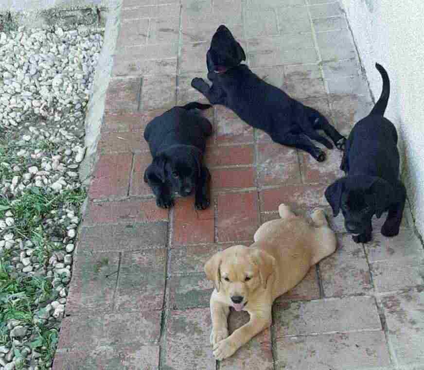 Disponibili Cuccioli Labrador Miele Nero