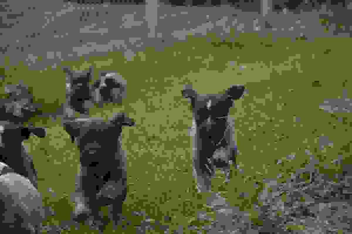 Cuccioli Deutsch-Drahthaar