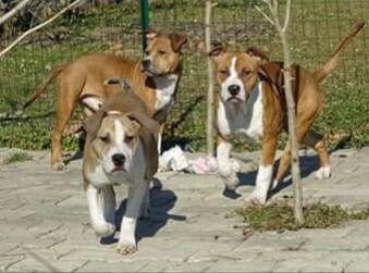 Cuccioli amstaff pedigree