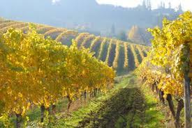 Ottima Uva da vino BIO