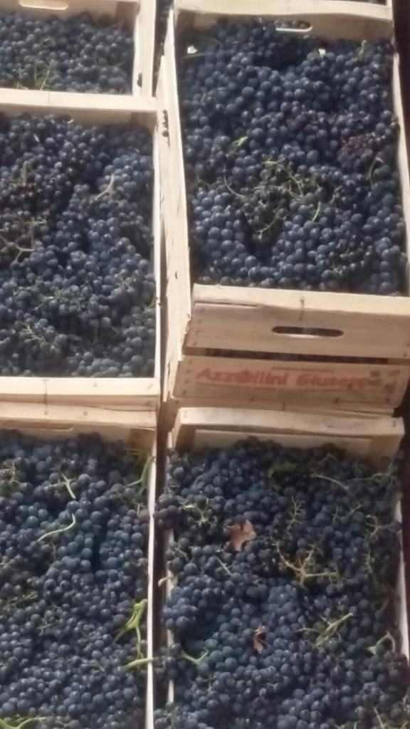 Uva da vino Montepulciano d'Abruzzo IGT