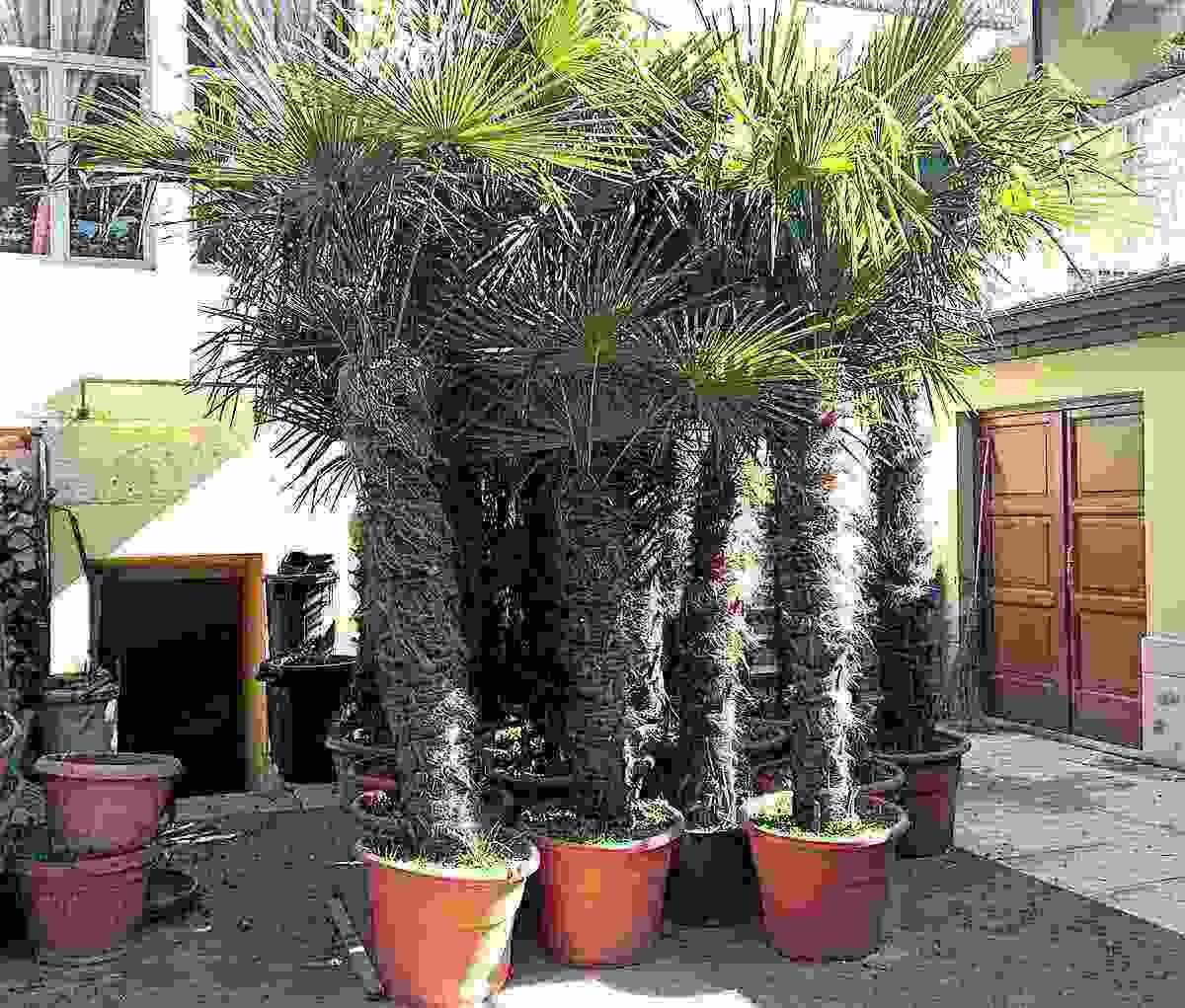 Palme da giardino - Trachycarpus Fortunei