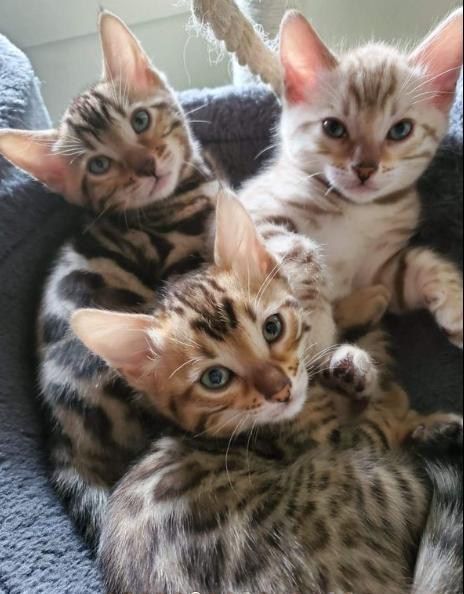 Cuccioli di Bengala con pedigree
