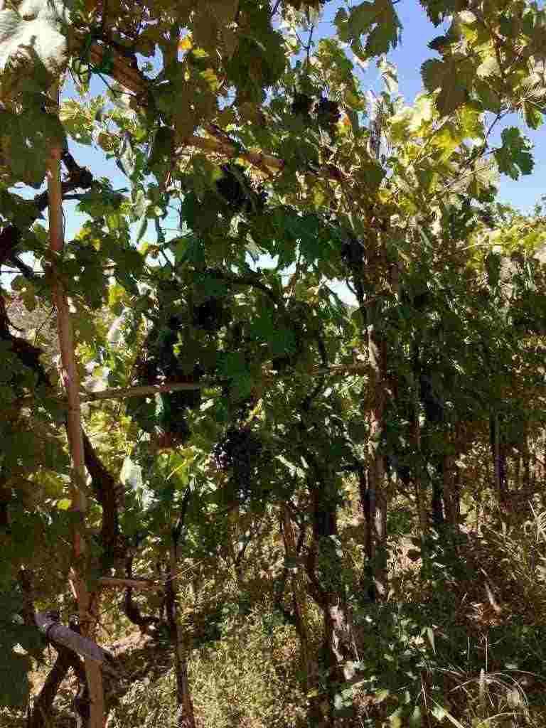 uva nera da vino PIEDIROSSO e sangiovese