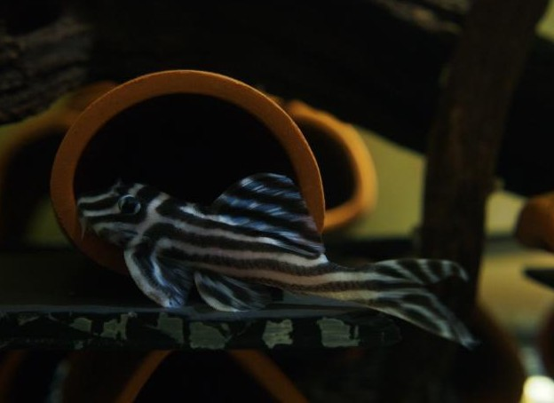 Migliore qualità L46 zebra pleco