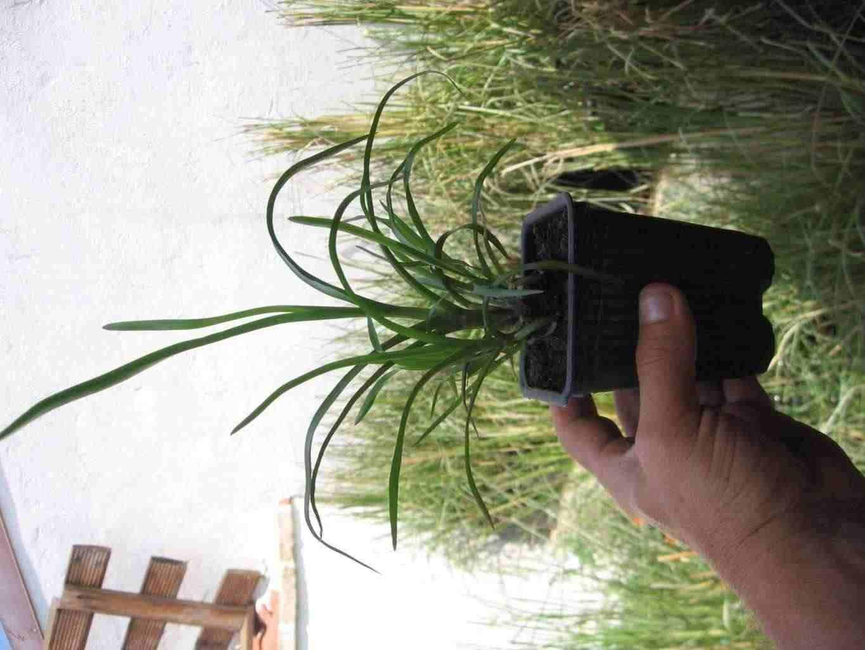 VETIVER piante in vasetto con terra