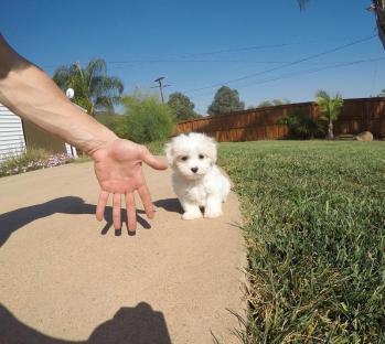 Cuccioli Maltese Mini Toy Puri