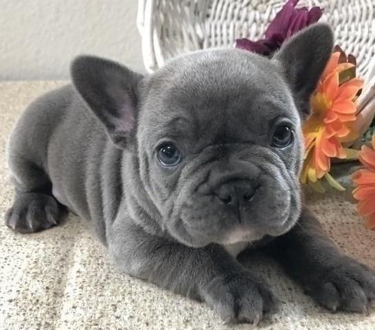 Splendidi cuccioli di Bulldog francese per adozione
