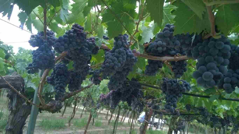 Uva da vino a Bacca rossa e bianca Montepulciano d'Abruzzo, Sangiovese, Lambrusco, Greco di Tufo