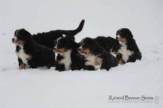 Cuccioli Bovaro del Bernese con Pedigree