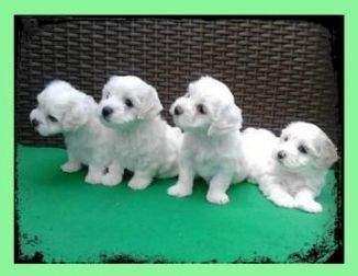 Kucciolini Maltese mini toy's
