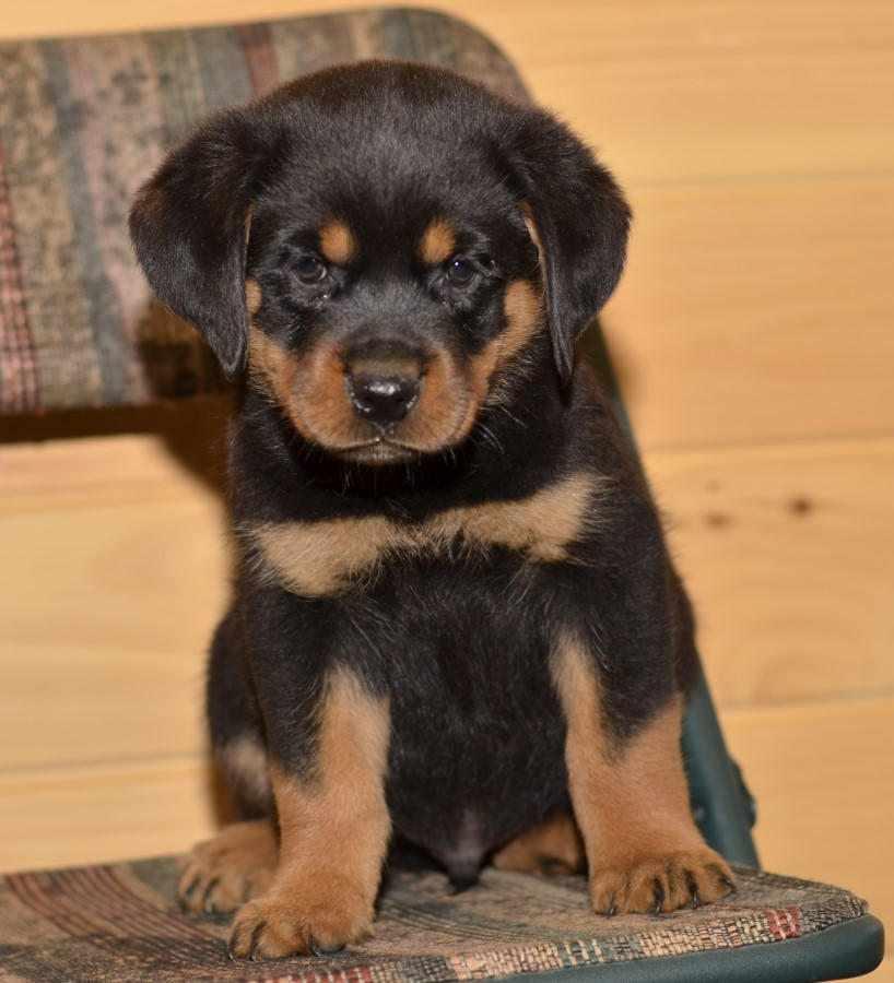 Cuccioli di Rottweiler di alta qualità