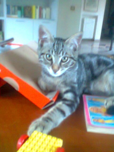 smarrito gatto maschio tigrato di 10 mesi