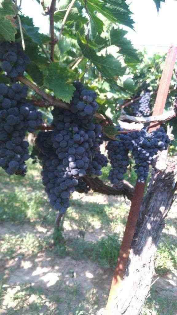 Uva Montepulciano d'Abruzzo, Lambrusco