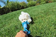 Cuccioli di Maltese ****!!