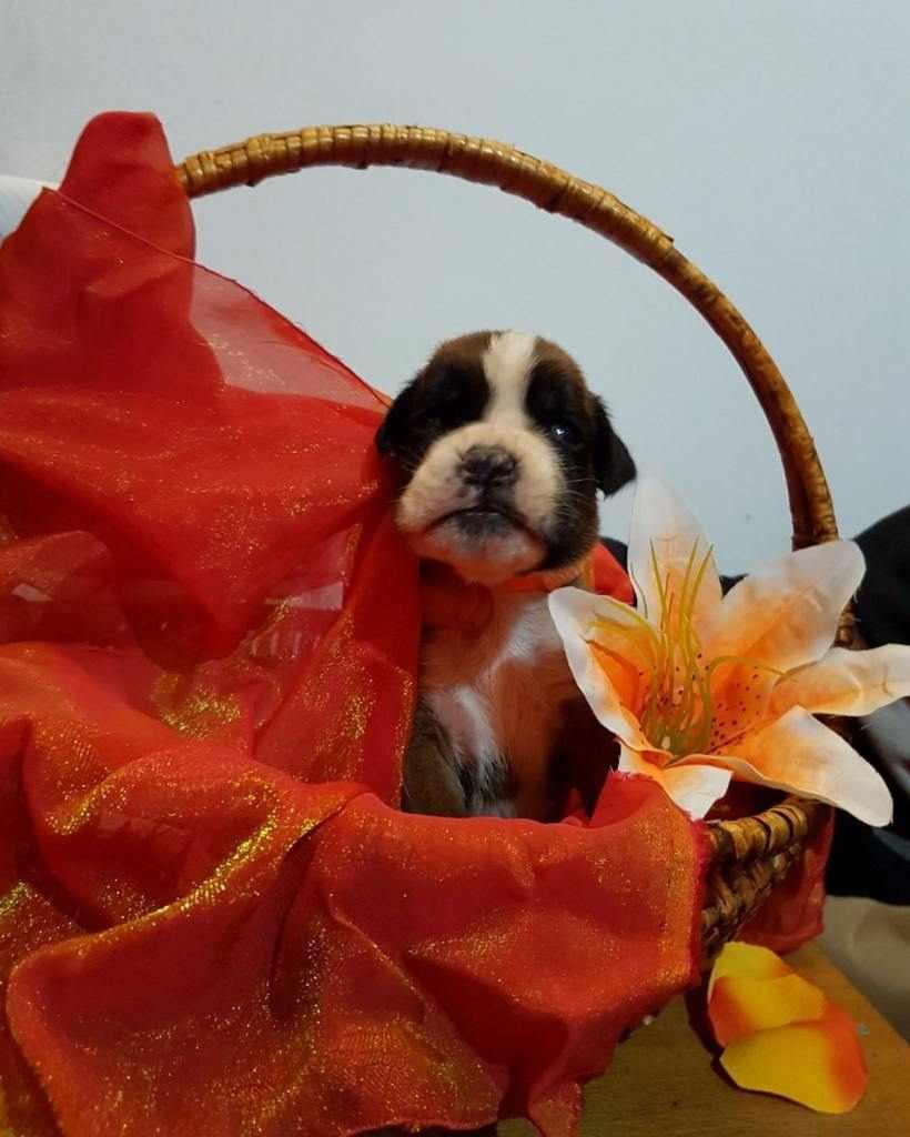 meravigliosi cuccioli di boxer con pedigree Enci