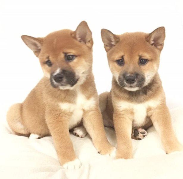 Shiba Inu cucciolini