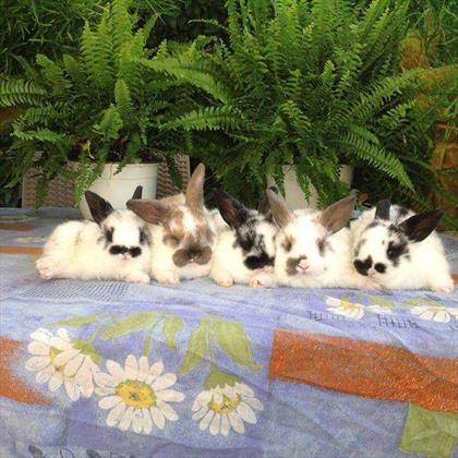 Cuccioli di Coniglio Nani