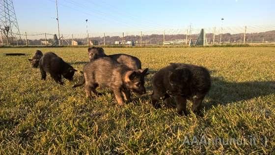 Cuccioli di Pastore Tedesco Dark sable @
