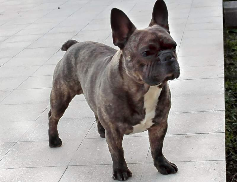 Bulldog - Bouledogue francese